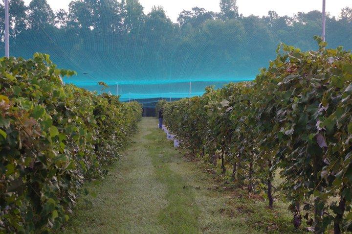 Iron Gate Vineyards